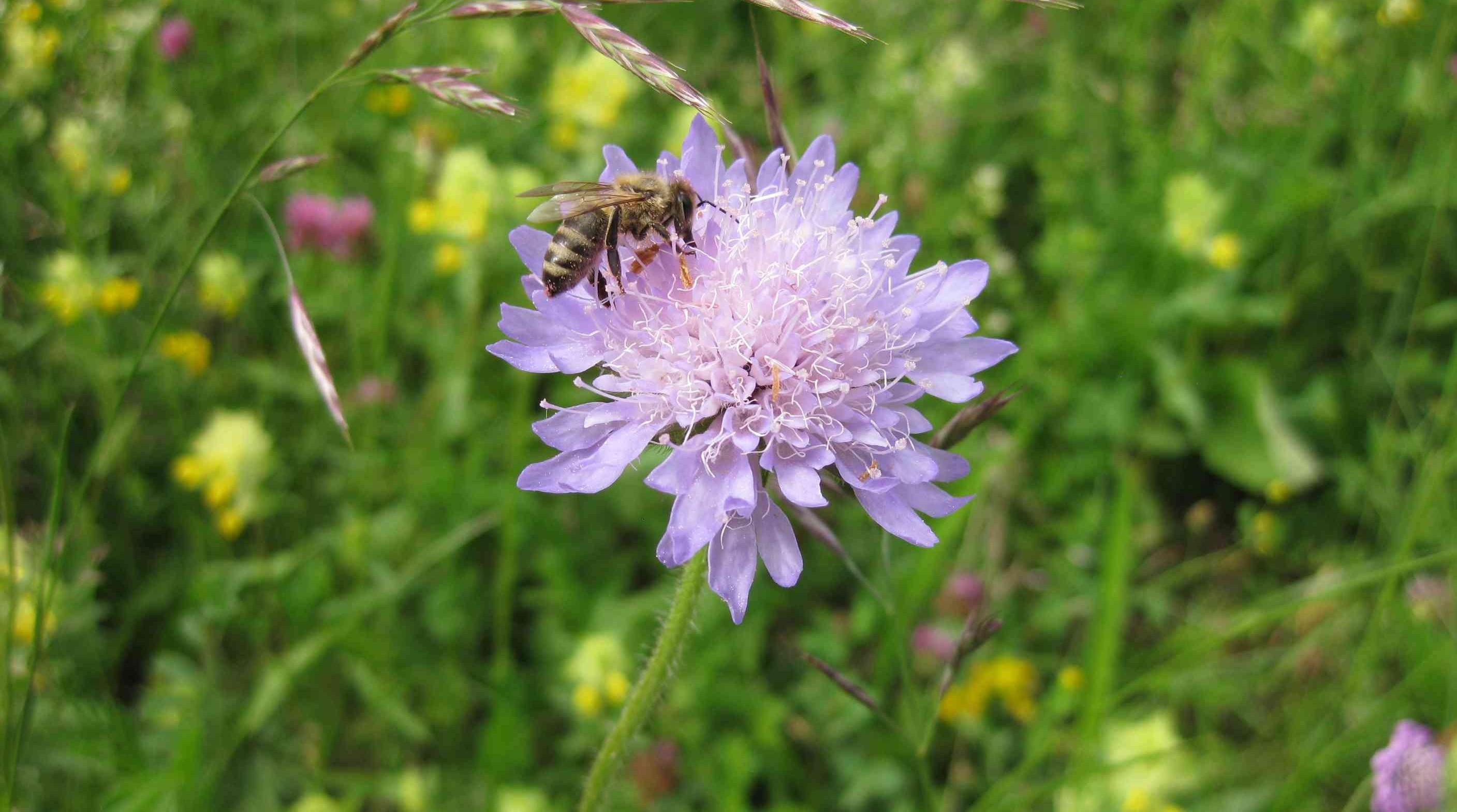 Biene in Engen, Deutschland